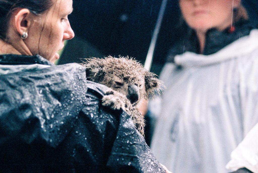 koala rescue australia