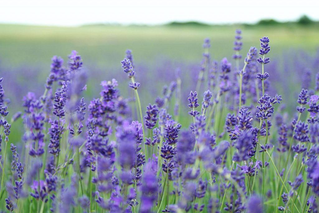 lavender farm hobart